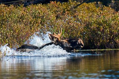 Moose at Elk Lake 3