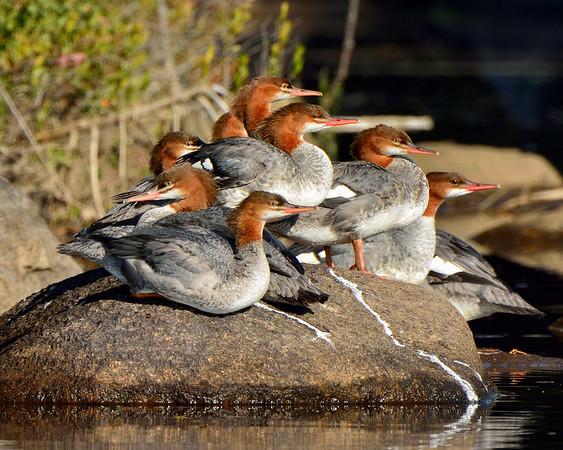 Merganser Ducks in Fall 2 - M