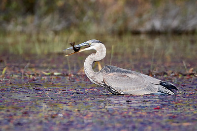 Great Blue Heron with Meal 1