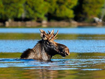 Moose at Elk Lake 2