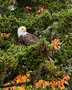 Bald Eagle on Elk Lake 2