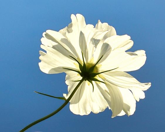 Lake Placid, Flower in White