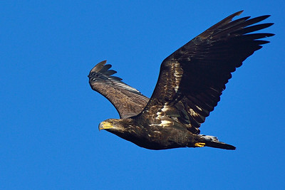 Young Bald Eagle in Flight 2