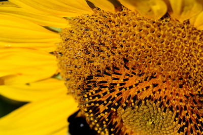 sunflower, Montezuma Wildlife Refuge