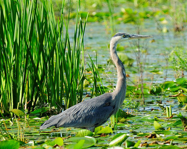Great Blue Heron, Montezuma Wildlife Refuge