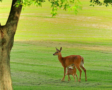 Mendon Pond Park, Deer and Fawn