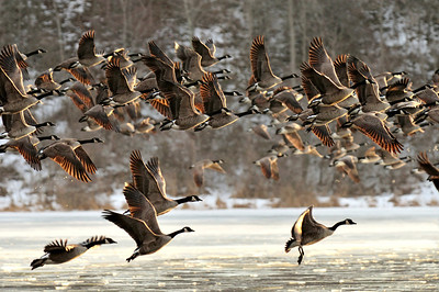 Canada Geese, Mendon Pond Park 4