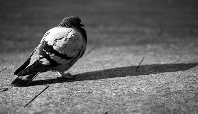 Shadow Pigeon