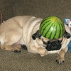 20 Pugs in Hats - Casey recently sent me a link to a blog with 20 pugs in hats and we had a serious discussion about our favorites, and chose this lovely creature as the champion. I think mainly because his hat was a melon.