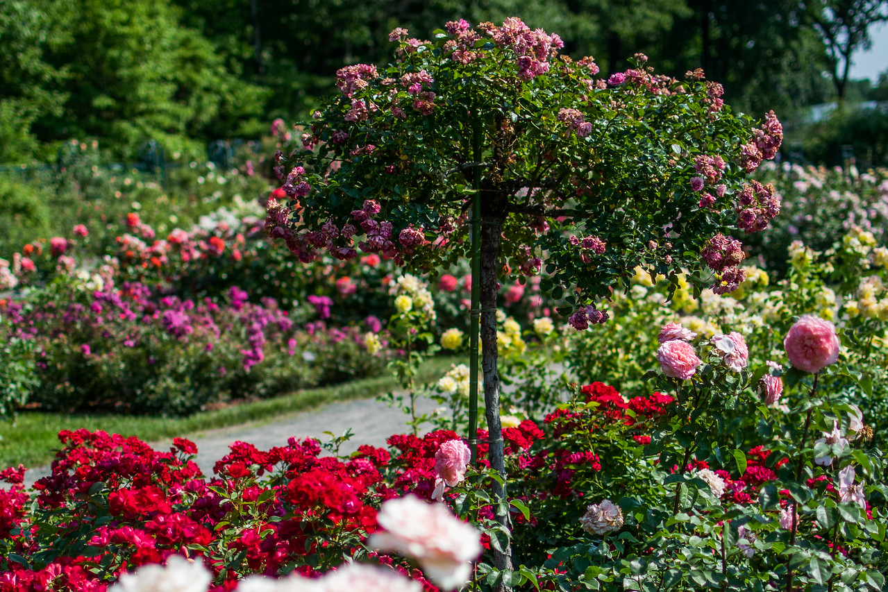 Peggy Rockefeller Rose Garden at New York Botanical Garden
