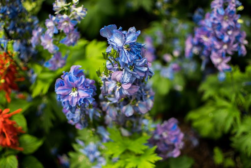 Dasante blue at New York Botanical Garden