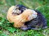 NoPhotographer-35367172-Zwei-neugeborene-K-tzchen-auf-dem-Rasen-Lizenzfreie-Bilder-PHOTO