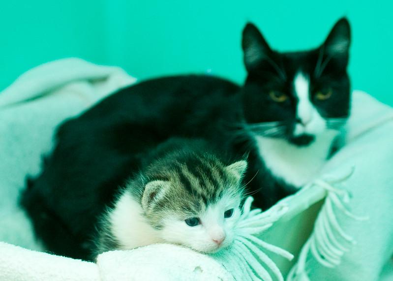 JoeGalka-Maxine blur with white tabby kitten 3 18 13