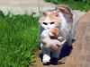 PhotoNav-NoPhotographer-20442708-Mama-cat-carries-a-kitten-in-a-safe-place-Stock-Photo