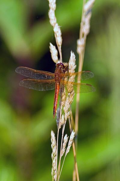 Dragon fly 3