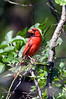 Male Cardinal stop over
