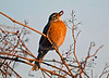 Iona Island sunning Winter Robin 1-28-14.very rare to have Robins in this area this early in the year, there were many this day but very hard to photgraph they were very skitish.