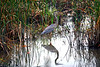 Iona Island Marsh Blue Heron, an insert for the 2012 Natural National Landmarks Calendar, I received national recognition throughout the U.S.A. government project for this photograph, this image is also dispayed on there A frame display board for there special meetings.