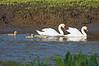 Mute Swan Famly