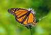 MONARCH BUTTERFLY ON THISTLE.