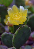 PRICKLY PEAR CATUS.