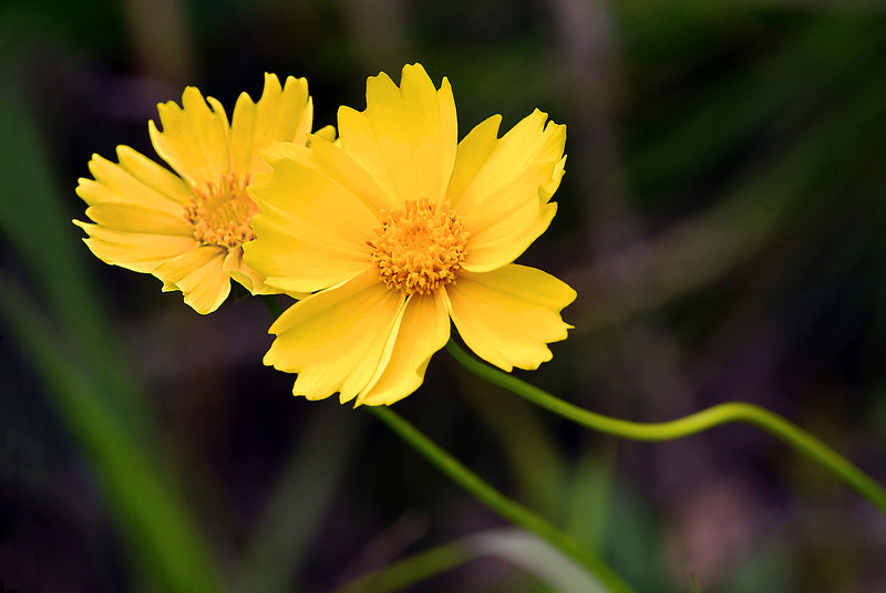 LANCH LEAVED COREOPSIS.