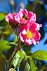 Virgina rose