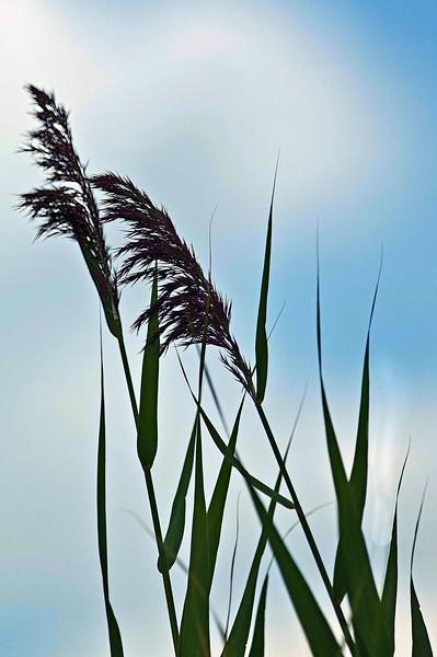 Gint Grass.