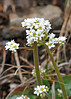 Early Saxifraga