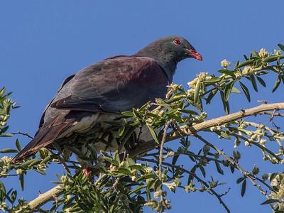 NZ Pigeon