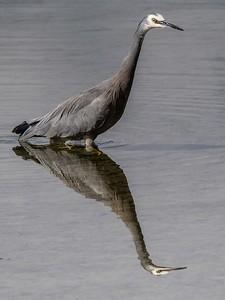 02 Grey faced Heron