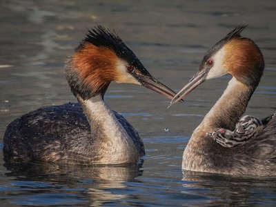 04 Grebe with chick