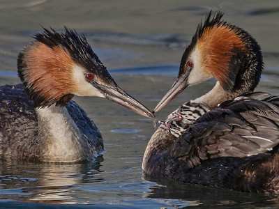 02 Grebe with Chick