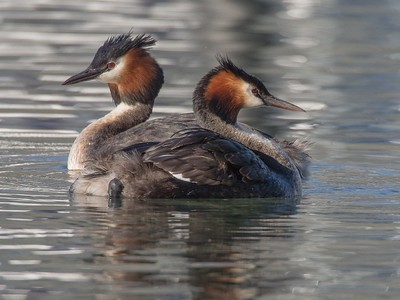 A pair of Grebe