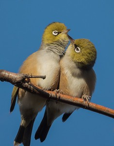 Wax eye pair