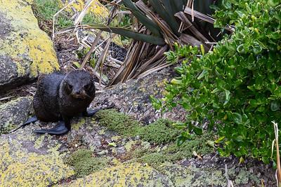 New Zealand - South Island - Fur Seal