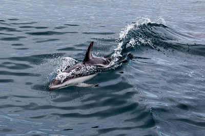 New Zealand - South Island - Kaikoura - Dusky Dolphin
