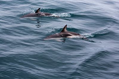 New Zealand - South Island - Kaikoura - Dusky Dolphins