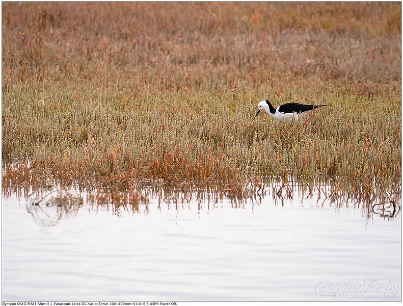 White-headed Stilt (Pied Stilt) @ Ahuriri Estuary Conservation Area