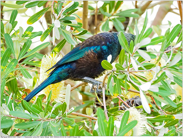 Tui feeding on Banksia