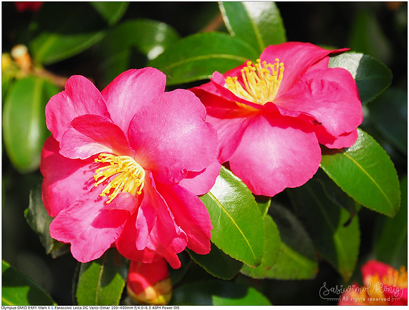 Tea oil camellia, always so beautiful