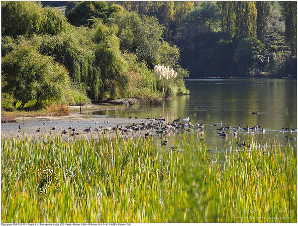 Canada geese, Paradise shelducks @ Lake Karapiro ห่าน�คนาดา