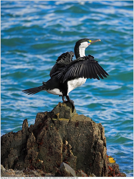 Pied Shag (Pied Cormorant) drying wings