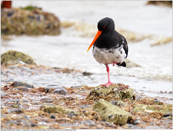 Variable Oystercatcher standing on one leg