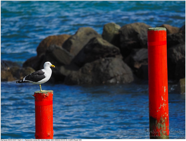 Southern black-backed gull, observing the world