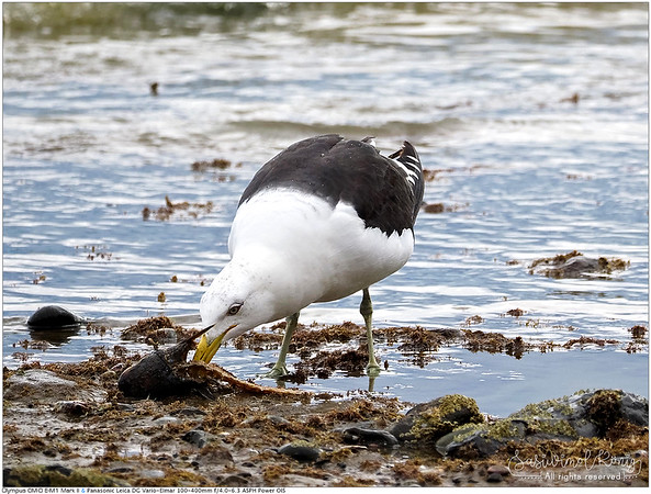 Southern black-backed gull enjoying sashimi