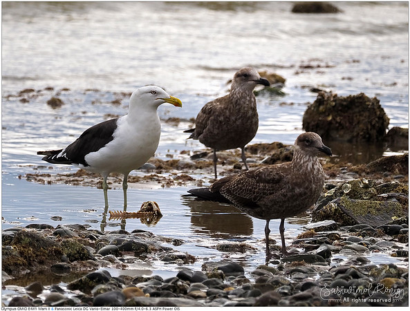 3 Southern black-backed gulls