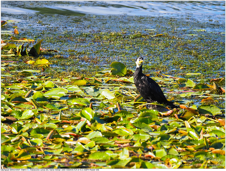 Little Pied Shag on lotus leaves, Waikato river