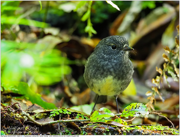 New Zealand Robin on forest floor