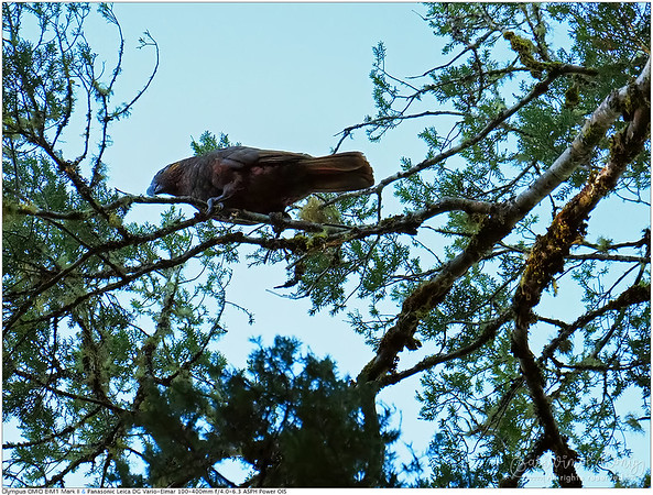 The only photo of Kaka Parrot I could captured. They perched super far far away.. 40 meters away